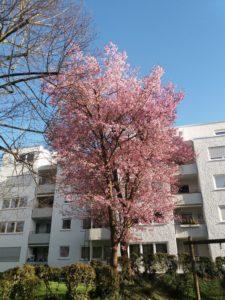 Vegetação baixa verde, uma grande árvore com flores cor-de-rosa, um prédio branco atrás, céu azul limpo.