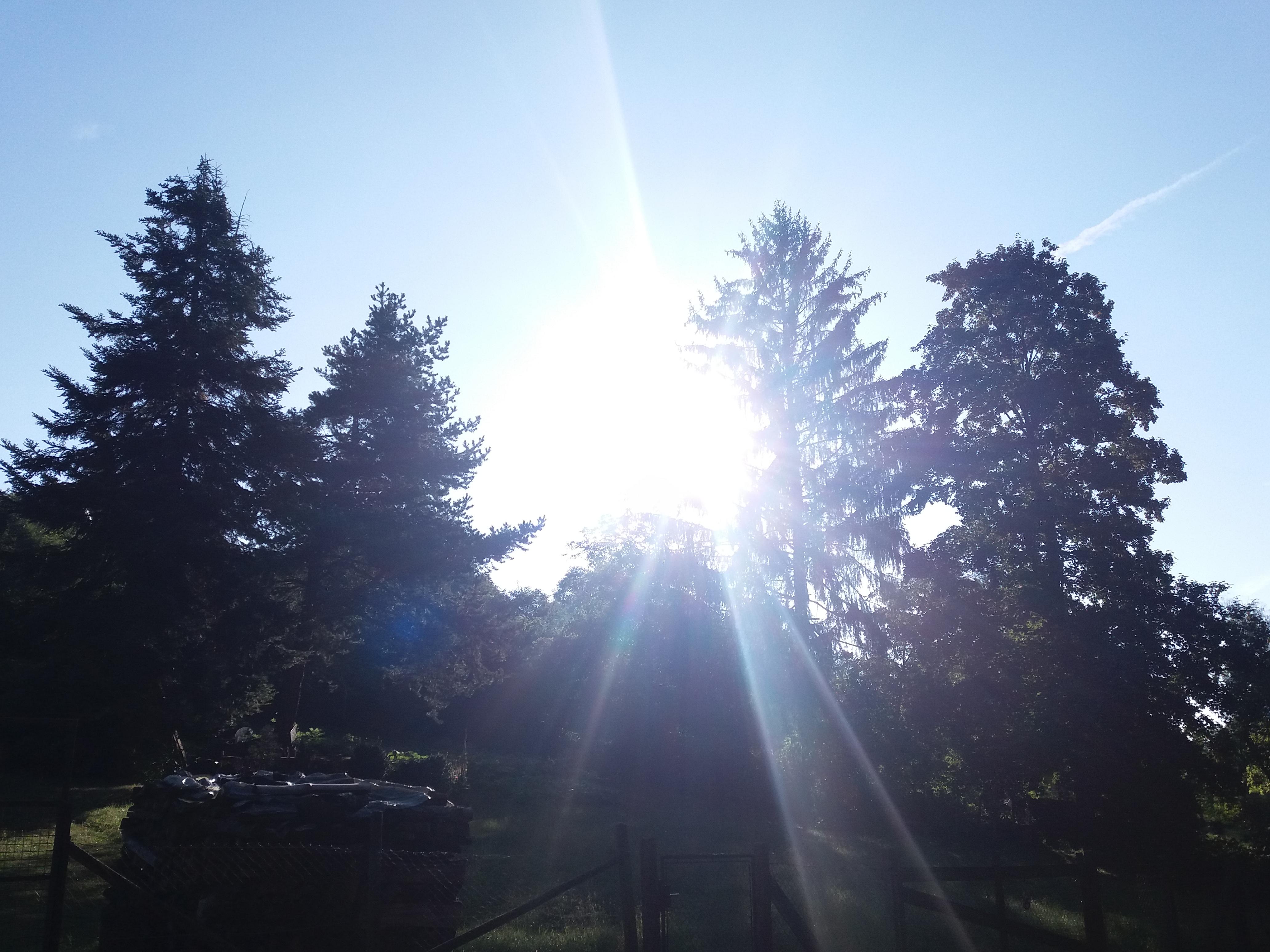 Sol brilhando por trás de pinheiros.