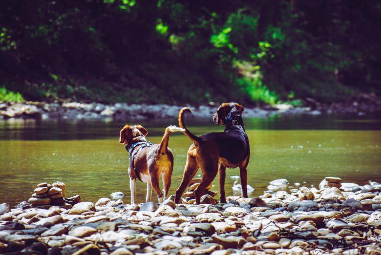 raças de cachorros alemães